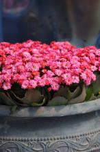 The Calandiva Birken is an iridescent, hot pink, and fully rose-form kalanchoe. The flowers are colorful and perfectly doubled, with a sturdy branching habit that allows the flowers to form an almost solid carpet of color on top. (Photo by Norman Winter)