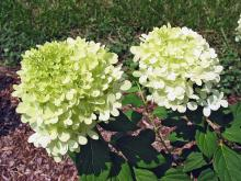 MSU horticulturist Norman Winter has spent the last 14 years promoting plants that excel in Mississippi, such as this 2009 Mississippi Medallion award winner, the Limelight hydrangea. It blooms from midsummer through fall. It has small leaves and an incredible quantity of flowers that start off almost white, then change to bright, light lime and finally turn pink as fall approaches. (Photo by Norman Winter)