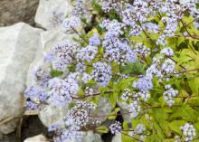 Winter is a good time to evaluate a landscape's design features. Consider using edging to define beds and provide continuity. Large stones are used to edge this bed of purple ageratum. (Photo by Scott Corey)