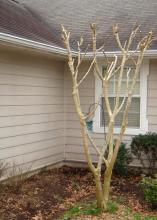 Avoid pruning crape myrtles at the same spot on the trunk each year, cutting instead at a place about 12-18 inches higher than before. This will result in a healthier, better-structured tree. (Photo by Jeff Wilson)