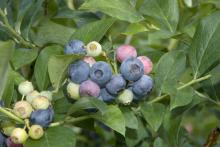 Edible garden additions have benefits other than the culinary ones. The rabbiteye blueberry works well as a landscape shrub with its silvery-blue foliage, pinkish-white flowers, summer fruit and outstanding fall color. (Photo by Rebecca Bates)