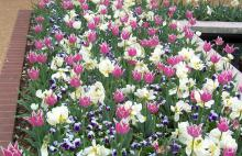 Accessorize spring-flowering bulbs to hide the ratty foliage that must remain afterwards to ensure a good bloom next year. Here, pansies are interplanted with tulips, providing color and camouflage. (Photo by Gary Bachman)
