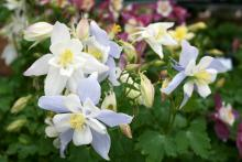 The blooms of columbine add mixes of bright pastels to any landscape.  The all-white Dove and bi-color Bluebird pictured here are from the Songbird Series.