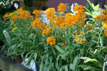 The flower spikes of Citrona Orange erysimum are held above the narrow foliage to create a bright display. (Photo by MSU Extension Service/Gary Bachman)
