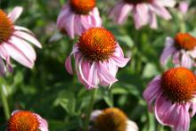 Purple coneflowers are native plants that look great in the prairie as well as in formal designs. Coneflowers such as this Bright Star are perfect plants for the garden.