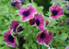 The Pretty Much Picasso Supertunia is a real visual stunner with its mix of bright purple, magenta and lime green. (Photos by Gary Bachman)