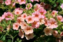 Calibrachoa, or Million Bells, such as this MiniFamous Apricot, produce an unbelievable number of flowers from spring until frost.