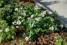 The Mediterranean series is a spreading-type annual vinca that reaches 6 inches tall and 30 inches wide. Here, the apricot broadeye vinca is combined with white penta. (Photos by Gary Bachman)