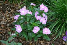 The Titan series of annual vinca is a fantastic performer with an upright growth habit. It comes in 11 different colors, including this lavender blue halo.
