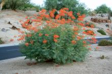 Butterflies love the gorgeous, orange-red flowers of the desert Pride of Barbados or Red Bird of Paradise. It can be grown in Mississippi as an annual in well-drained soil or raised beds. (Photos by Gary Bachman)