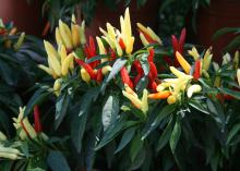 Chilly Chili seems to explode in color, with the fruit starting as yellow green and transitioning to a bright orange and brilliant red.