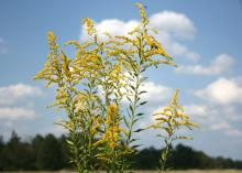 Goldenrod gives an explosion of color late in the summer. With tall, medium and dwarf varieties available, they can be a great addition to gardens, especially because they are not the cause of fall allergy problems. (Photo by Gary Bachman)