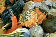 These multicolored, textured Autumn Wings gourds make perfect fall decorations. Gourds come in amazing varieties and will display well all season.