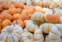 Mini pumpkins are versatile in fall decorations. These bright orange Mini Jacks and Pump Ke Mon with their white skin and vertical, orange stripes give decorators plenty of options. (Photos by Gary Bachman)