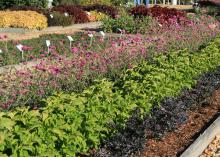 The combination planting of Purple Flash, Electric Lime coleus, and Fireworks gomphrena was one of the most colorful displays at The Fall Flower and Garden Fest. (Photos by Gary Bachman)