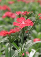 Dianthus Telstar Carmine Rose is an excellent cool-season plant that adds color to landscapes through the fall and winter. The flowers have a fringed margin and a dainty, floral fragrance.