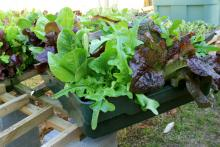 Winter lettuce can be grown in almost any container. This Encore Mix is portable as it is planted in a large, plastic tray. (Photo by Gary Bachman)
