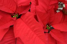 The brightly colored bracts of poinsettias make them the quintessential Christmas plant. (Photo by Kat Lawrence)