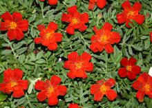 Marigolds work well in containers or the ground, adding color wherever they are planted. This Durango Red has a bright and cheery, orange-red double flower that shows off bright yellow stamens in the center of the flower. (Photos by Gary Bachman)
