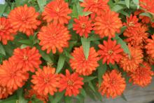 Zahara zinnias are a great addition to summer landscapes. These Double Fire zinnias are a hot, scarlet orange color that doesn't bleach out in full sun. (Photos by Gary Bachman)