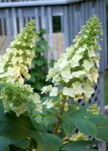The flowers of the Oakleaf hydrangea are cone-shaped and can be up to a foot long. Showy, infertile flowers surround smaller, fertile flowers that start out snow white and fade to pink. (Photos by Gary Bachman)
