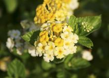 Butter Cream lantana's flowers start out as a bright golden yellow; the edges turn creamy white and eventually, the entire flower is white. (Photo by Gary Bachman)