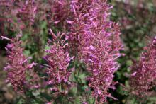 Agastache Color Spires Pink is a dramatic thriller plant in combination plantings in the landscape or containers. (Photo by Gary Bachman)