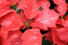The bracts of healthy poinsettias will be completely colored and fully expanded, such as those on this Ice Punch red poinsettia. (Photo by Gary Bachman)
