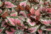The Hilo Holiday begonia's bright foliage with reddish pink, green and silver tones makes it a great option for winter decorating. (Photo by Gary Bachman)