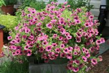 Pretty Much Picasso is a unique supertunia. It has pink petals with a purplish throat and lime green flower edges that tend to blend into the foliage.