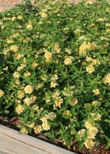 Luscious Lemonade lantana is a newer selection with sunshine-yellow flowers. Early in the morning, the flowers seem two-toned, especially when there is dew on the plant. (Photo by MSU Extension Service/Gary Bachman)