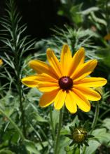 Indian Summer Rudbekia's huge flowers have bright yellow petals with warm orange bases and rich, chocolate brown center cones. (Photo by MSU Extension Service/Gary Bachman)
