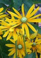 Irish Eyes is a black-eyed Susan variety that has a center cone of emerald green instead of black or dark brown. (Photo by MSU Extension Service/Gary Bachman)