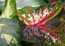 The foliage of a caladium is distinctive. The midribs on the leaves are often streaked or flashed with color, giving high contrast to green foliage. (Photo by MSU Extension Service/Gary Bachman)