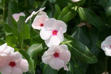 Annual flowering vinca, such as this Cora Apricot, is a solid performer in our Mississippi gardens and landscapes. Known botanically as Catharanthus rosea, some garden centers may label it Madagascar periwinkle. (Photo by MSU Extension Service/Gary Bachman)