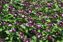 Jams 'N Jellies - These annual flowering vinca offer an exciting new color this year and are an All-America Selection for 2012. Jams 'N Jellies have velvety flowers that are a deep, dark purple. The nearly black flowers have a bright white eye. (Photo by MSU Extension Service/Gary Bachman)