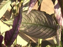 Persian shield requires full sun to develop bold colors and will fade if planted in the shade. (Photo by MSU Extension Service/Gary Bachman)