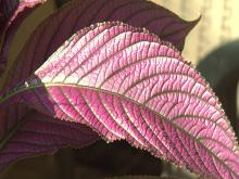 Persian shield's distinctive, bright green veins and vibrant purple leaves add visual interest to the landscape. (Photo by MSU Extension Service/Gary Bachman)