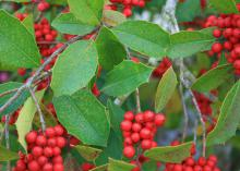 Savannah holly berries are show stoppers from November through March and a favorite winter delicacy of birds. (Photo by MSU Extension Service/Gary Bachman)
