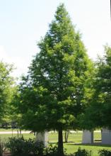 Bald cypress is a large tree that can handle soggy or dry conditions. This deciduous tree is known for its conical form. (Photo by MSU Extension Service/Gary Bachman)