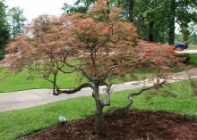 Hundreds of varieties of Japanese maple, such as this laceleaf variety, mean there is a selection for nearly every landscape use. Fall colors range from flaming orange to blood red and harvest gold. (Photo by MSU Extension Service/Gary Bachman)
