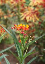 Butterfly weed is a common sight beside Mississippi roadways and a surefire butterfly magnet. This low-maintenance plant was a Mississippi Medallion Native Plant winner in 2012. (Photo by MSU Extension Service/Gary Bachman)