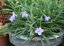 Dwarf varieties of the Mexican petunia such as this Ruellia Katie Dwarf come with bluish-purple, pink or white flowers. (Photo by MSU Extension Service/Gary Bachman)