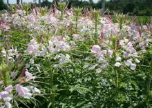 Cleome Sparkler Blush is a garden-worthy variety that earned All-America Selections honors in 2002. (Photo by MSU Extension Service/Gary Bachman)