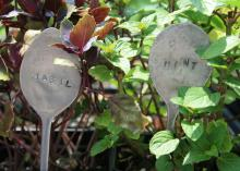Flattened metal spoons can be customized with letter punches and placed in the garden to identify herbs. (Photo by MSU Extension Service/Gary Bachman)