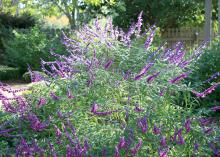 Mexican Bush Sage is a salvia that can grow into a large, 5- to 6-foot mound of violet-blue, wooly flowers. (Photo by MSU Extension Service/Gary Bachman)