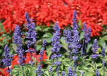 Victoria Blue salvia is an upright perennial that displays rich, deep-blue flowers on spikes produced from summer into fall. (Photo by MSU Extension Service/Gary Bachman)