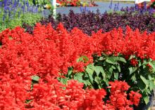 The Vista series of salvia have some of the best colors and numbers of flowers. This bed has Vista red in the foreground and Vista purple in the back. (Photo by MSU Extension Service/Gary Bachman)