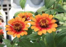 Zinnia Zowie Yellow Flame's fiery bicolor flowers change color as they open. (Photo by MSU Extension Service/Gary Bachman)