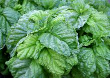 The lettuce-leaf basil has large ruffled leaves that add a new twist to the standard sandwich. (Photo by MSU Extension Service/Gary Bachman)